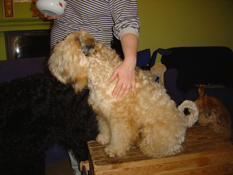 Soft Coated Wheaten Terrier getting pet