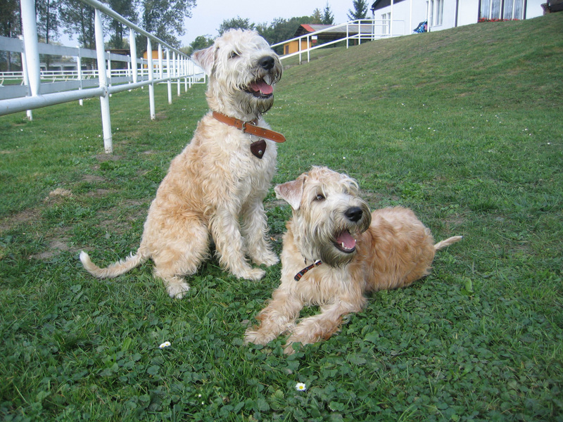 Soft Coated Wheaten Terrier's happy in the grass