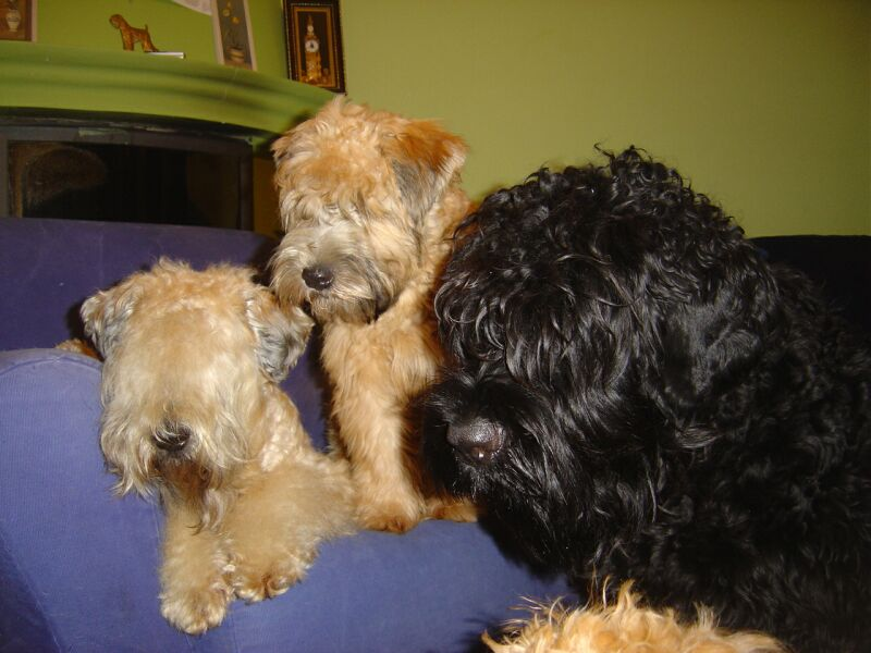 Soft Coated Wheaten Terrier's and friend