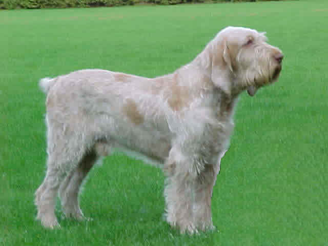 Spinone Italiano Dog Breed Information Puppies Amp Pictures