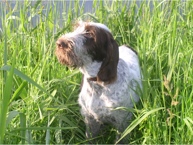 Spinone Italiano in tall grass