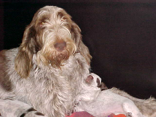 Spinone Italiano with pup