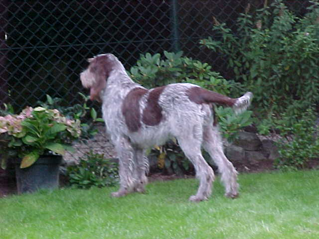 Spinone Italiano keeping watch