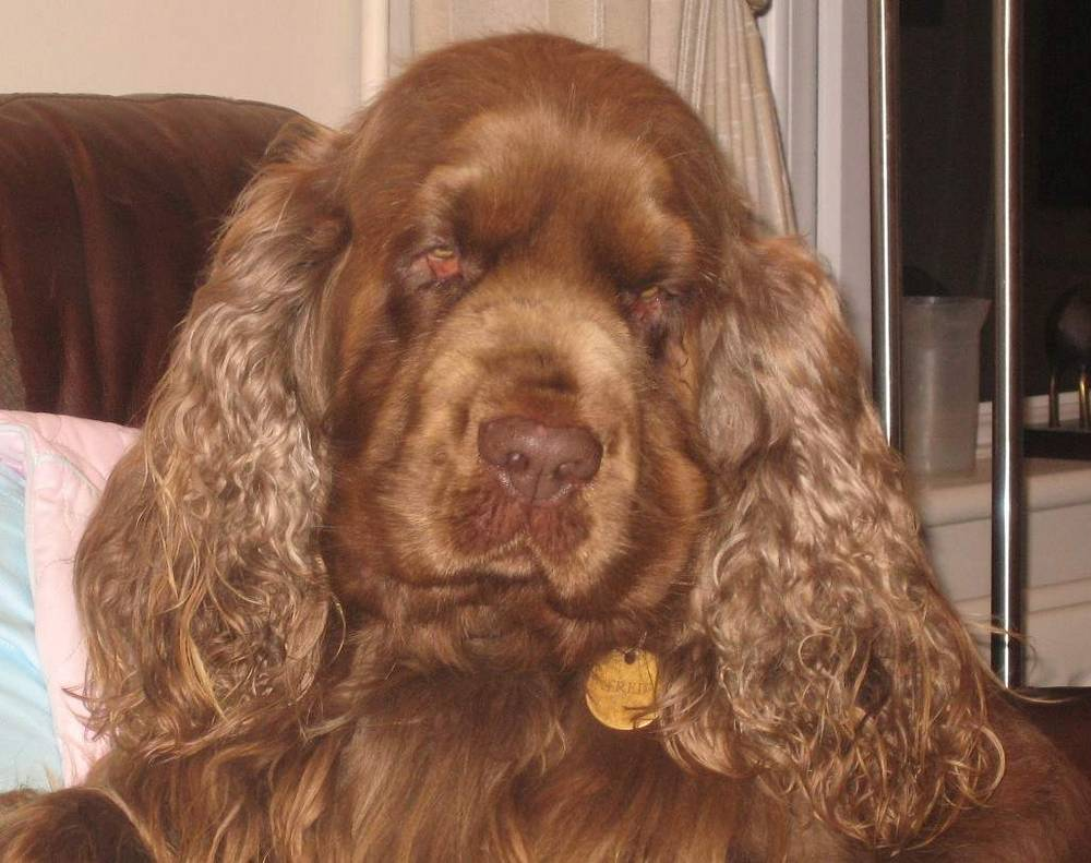 Sussex Spaniel face