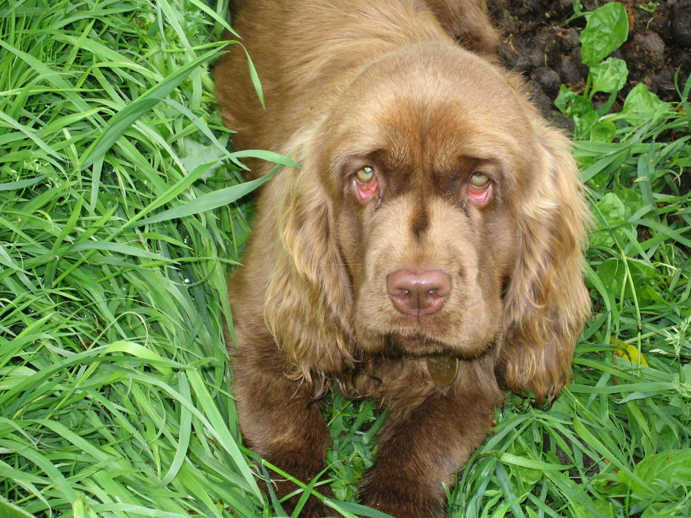 Sussex Spaniel standing in grass
