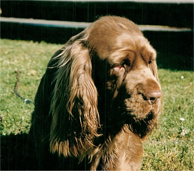 Sussex Spaniel looking away