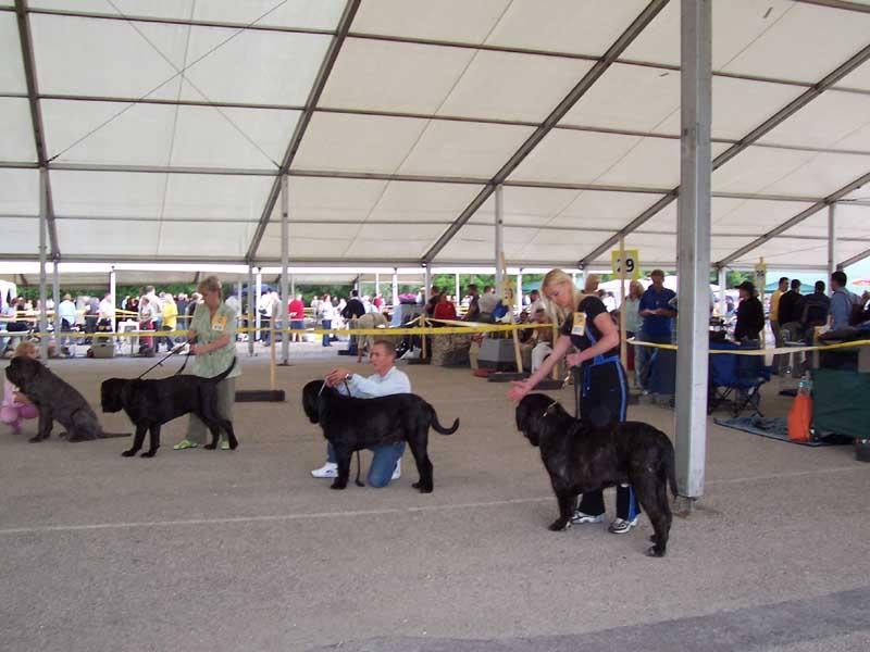 Tibetan Mastiff's in a line