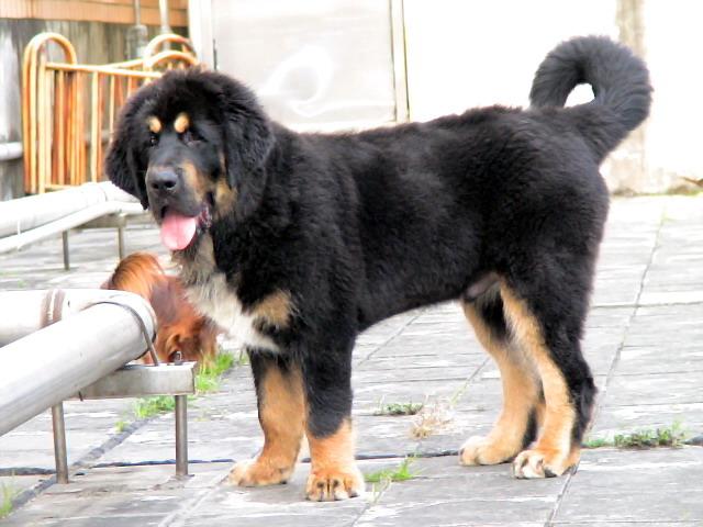 Tibetan Mastiff standing