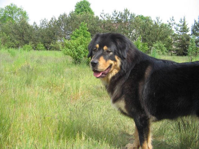 Tibetan Mastiff in field