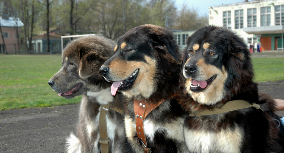 Three Tibetan Mastiffs
