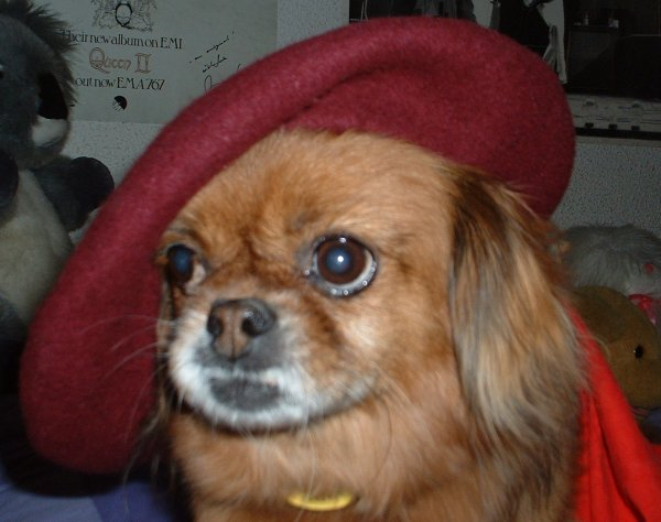 Tibetan Spaniel with hat on