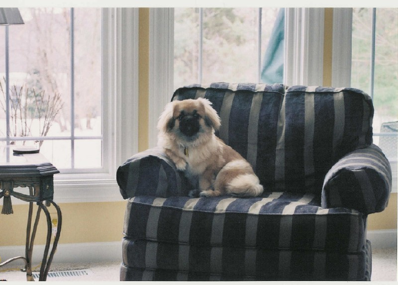 Tibetan Spaniel sitting in armchair