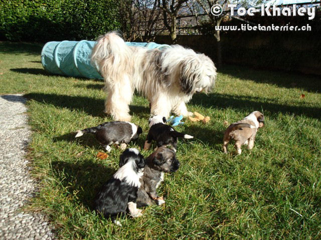 Tibetan Terrier with pups