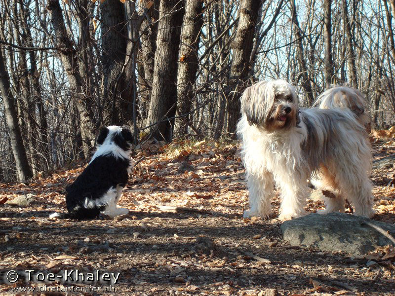 Tibetan Terrier in forest