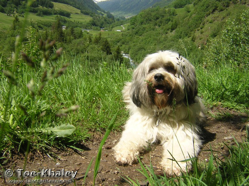 Tibetan Terrier in front of field