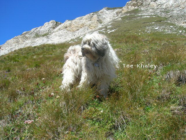 Tibetan Terrier on mountain