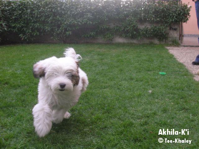 Tibetan Terrier running
