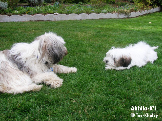 Tibetan Terrier with friend