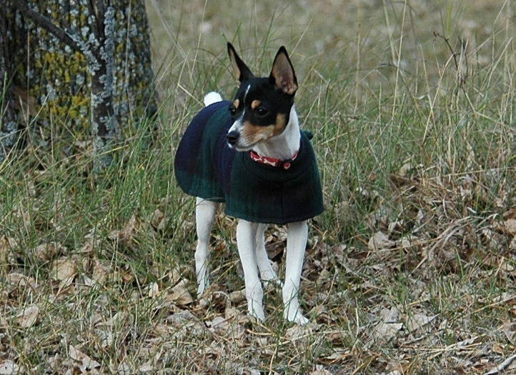 Toy Fox Terrier with sweater