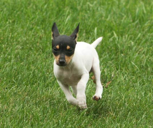 Toy Fox Terrier running