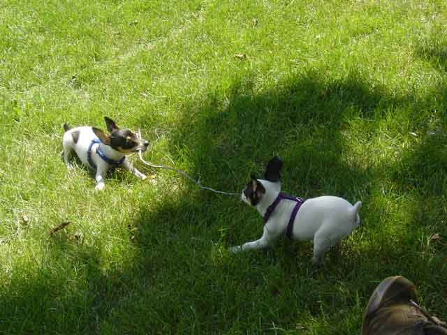 Toy Fox Terrier's playing