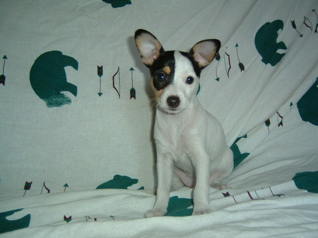 Toy Fox Terrier posing