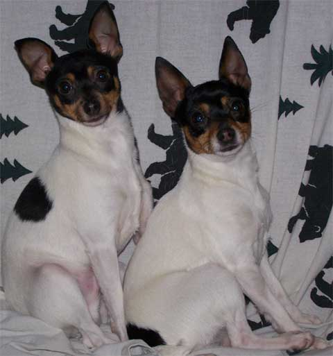 Toy Fox Terrier's looking at camera