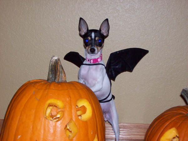 Toy Fox Terrier with bat wings