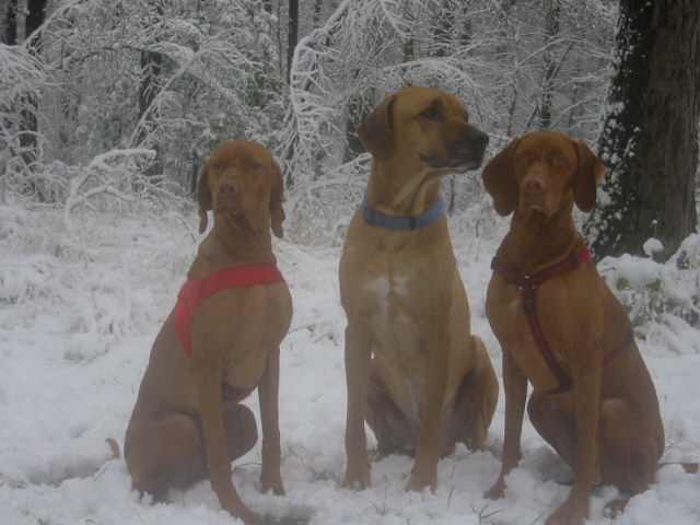 Vizsla's in the snow