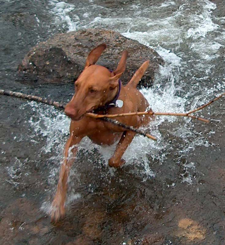 Vizsla Fetching