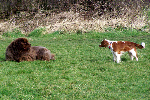 Welsh Springer Spaniel meets friend