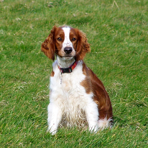 Welsh Springer Spaniel sitting in grass