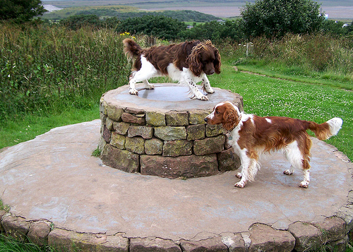 Welsh Springer Spaniel looking at another Springer