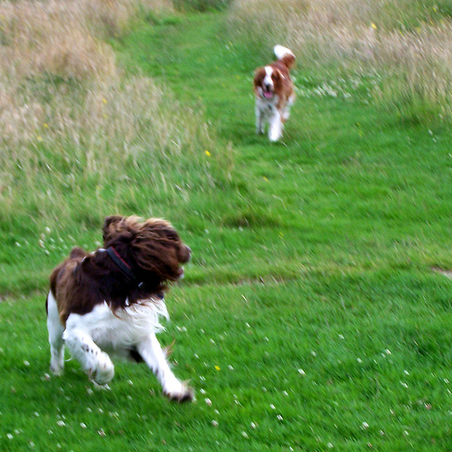Welsh Springer Spaniel's running