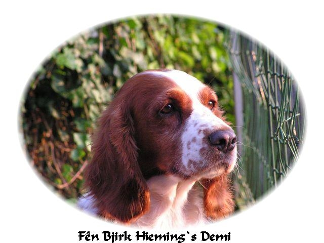 Welsh Springer Spaniel in frame