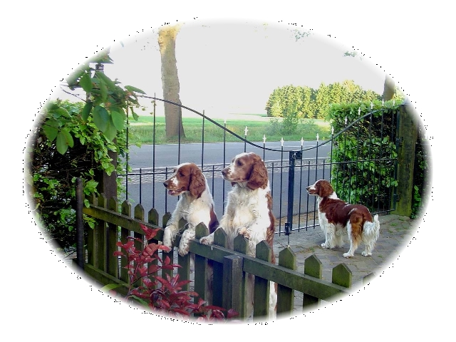 Welsh Springer Spaniel's looking over fence