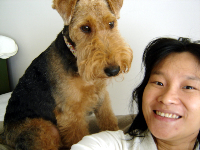 Sophie the Welsh Terrier