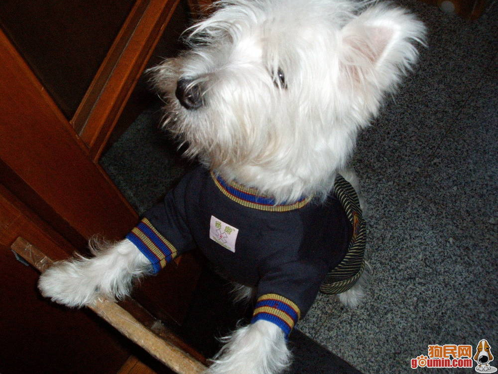 West Highland White Terrier wearing shirt