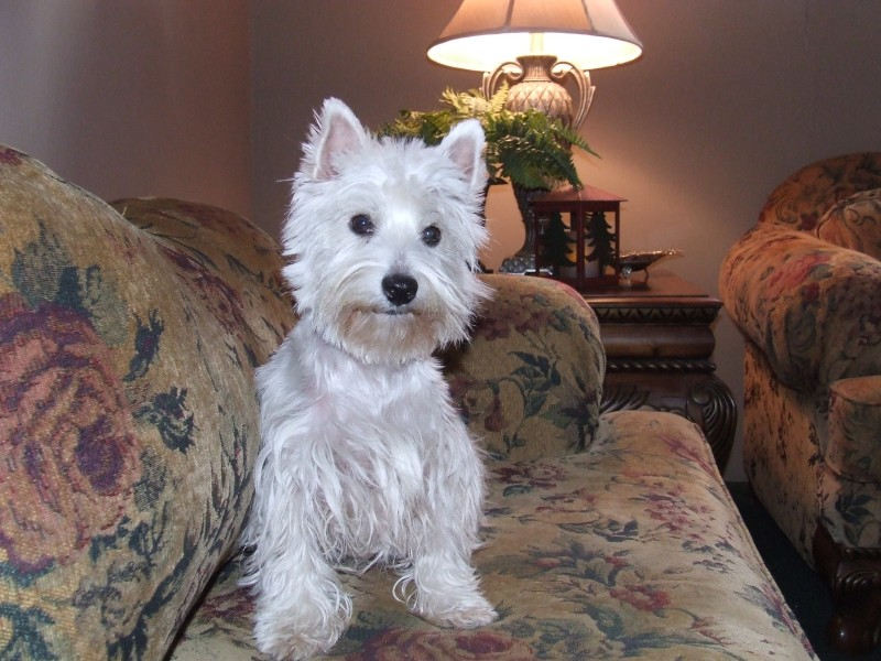 West Highland White Terrier on couch