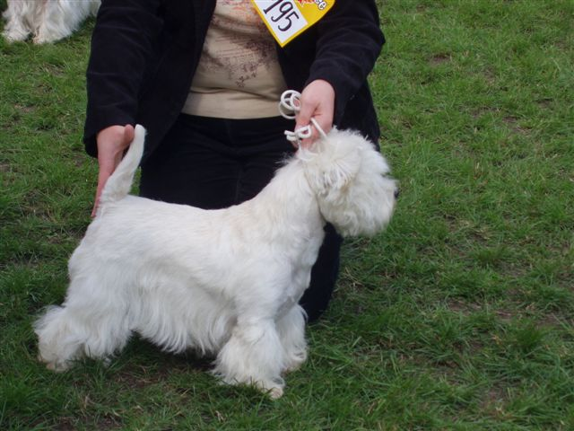 West Highland White Terrier being shown