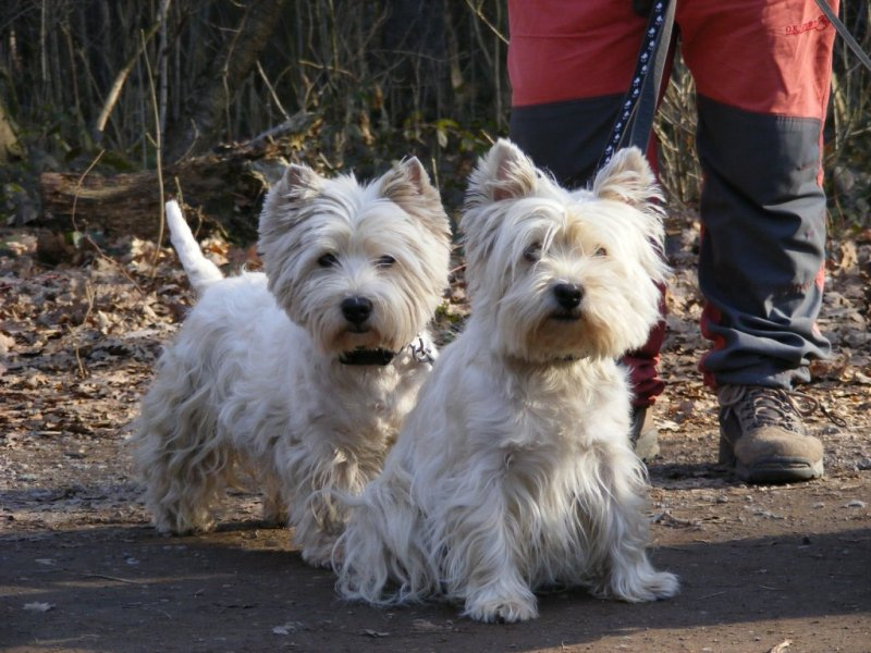 West Highland White Terrier's on a walk