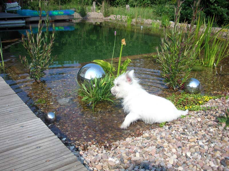 West Highland White Terrier in pond