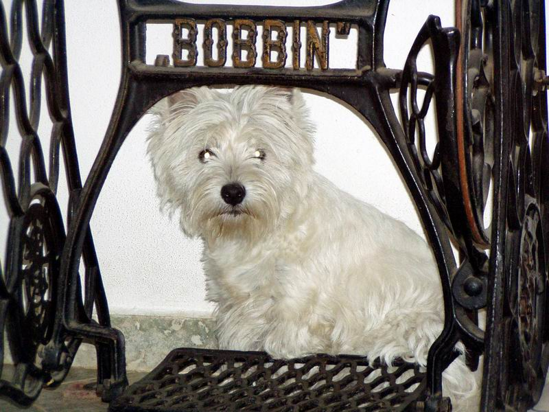 West Highland White Terrier through chair