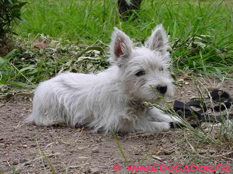 West Highland White Terrier laying on ground