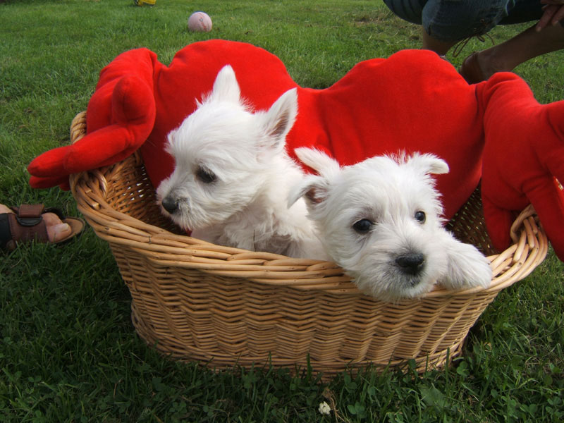 West Highland White Terrier's in a basket