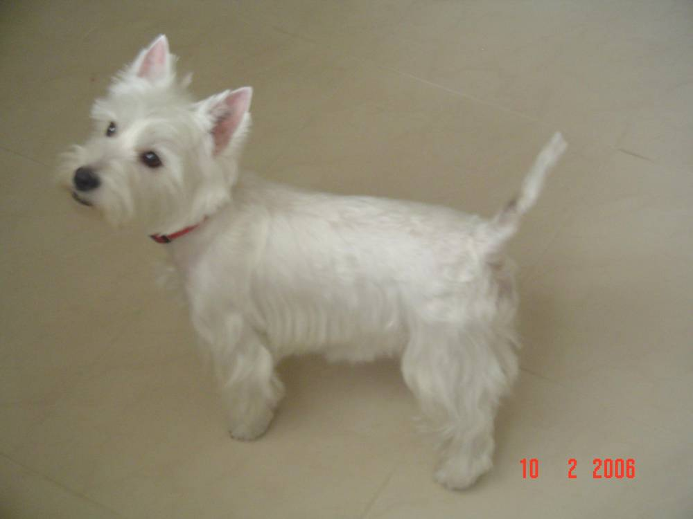 West Highland White Terrier posing