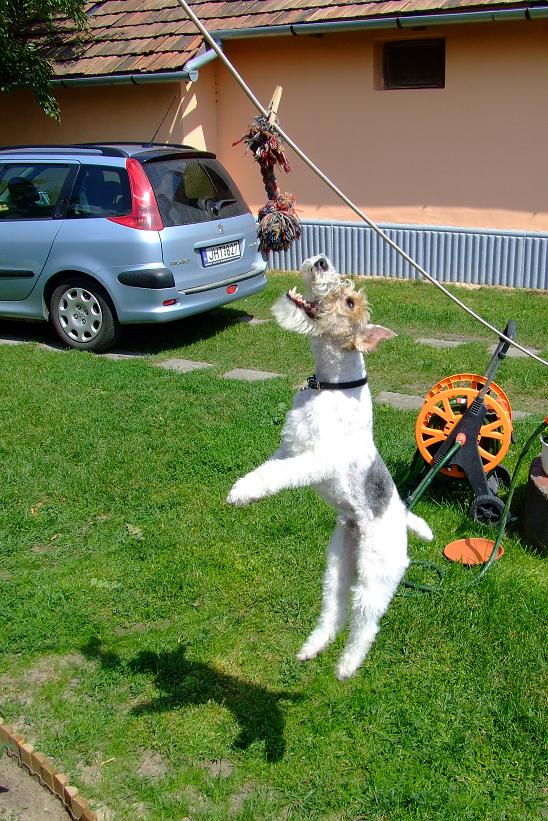 Wire Fox Terrier jumping for toy