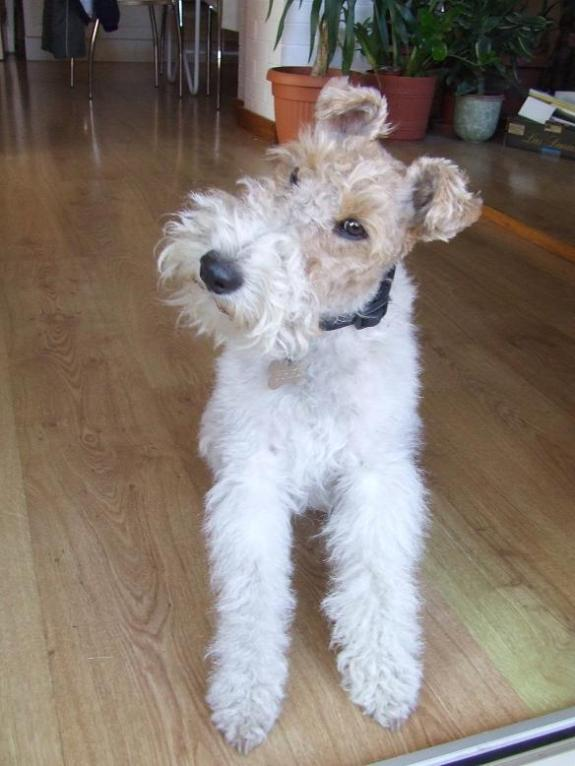 Wire Fox Terrier looking confused