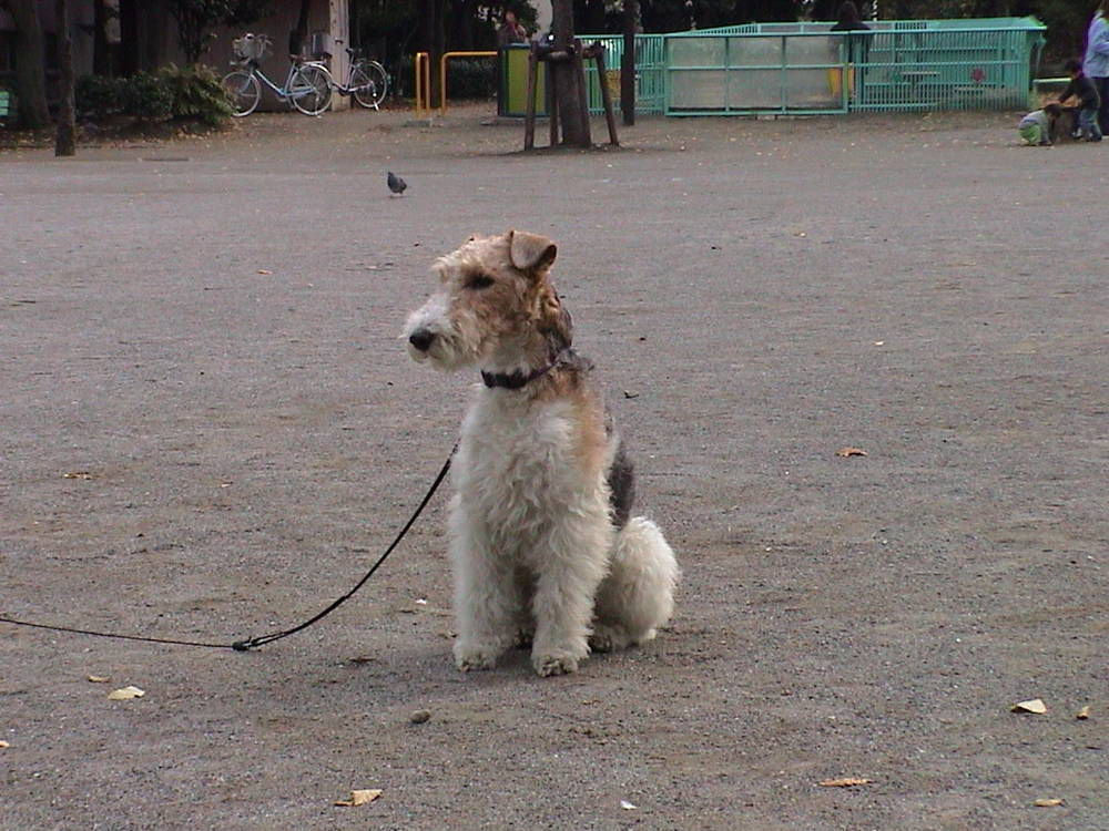 Wire Fox Terrier ready for walk