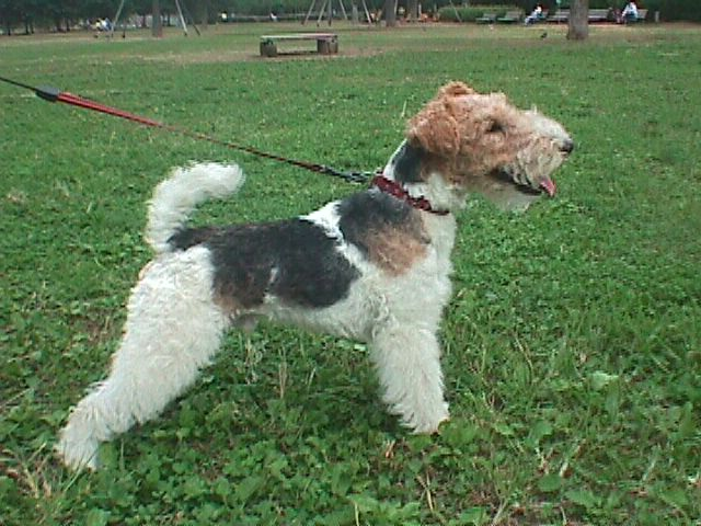Wire Fox Terrier on walk